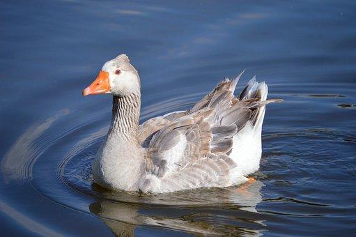 Duck, Ducks, Animal, Nature, Bird, Swim, Ducklings