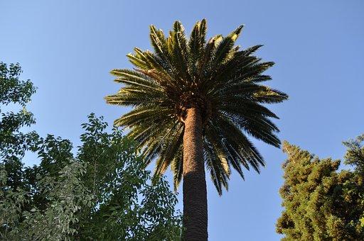 Palm, Palm Tree, Sky, Nature