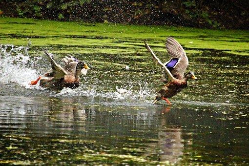 Duck, Running Duck, Water, Pond, Swim, Bird, Nature