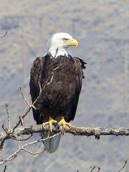 Bald Eagle, Bird, Wildlife, Raptor, Animal, Nature
