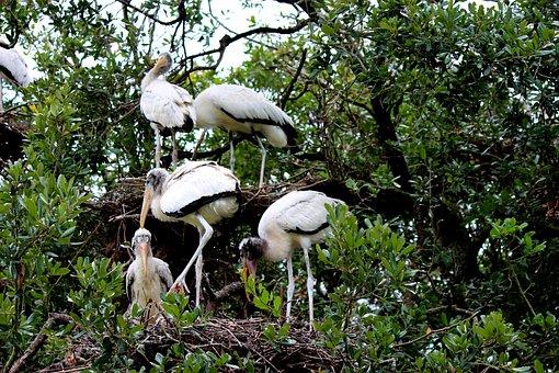Bird, Nest, Pelican, Nature, Animals, Wildlife, White