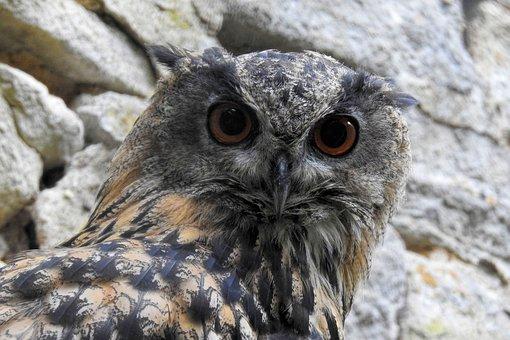 Eagle Owl, Owl, Bird Of Prey, Bird, Raptor