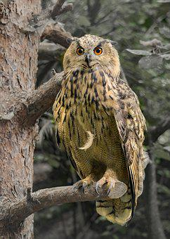 Eagle Owl, Owl, Raptor, Bird Of Prey, Night Fighter