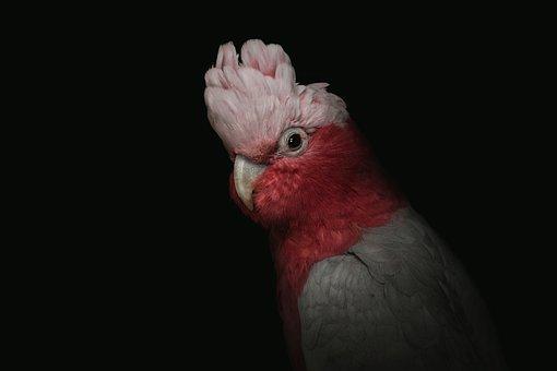 Cockatoo, Cockatoo Pink, Portrait, Pink, Bird, Galah