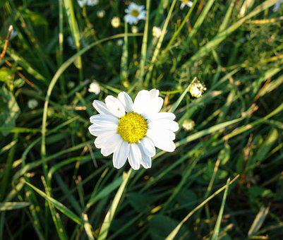 Flower, Margarite, Nature, Daisies, Bloom, White, Plant
