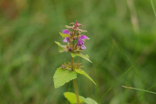 Nettle, Purple, Meadow, Summer, Honey, Plant, Nature