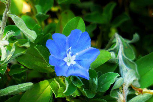Flower, Plant, Wild Flowers, Hua Xie, Blue, Natural
