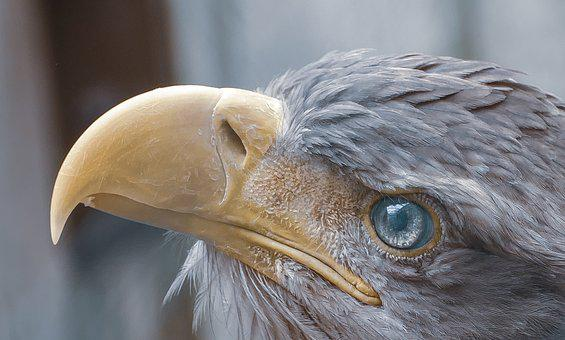 Eagle, Looking, Bird, Portrait, Nature, Predator, Beak
