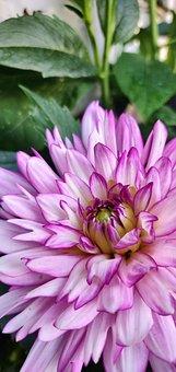 Pink, Flower, Portrait, Close Up, Garden, Out Doors