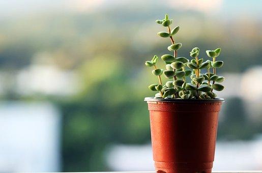 A Fleshy Plant, Plants, Potted Plant, Succulent