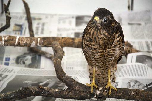 Hawk, Bird Of Prey, Birds, Raptor, Bird, Predator