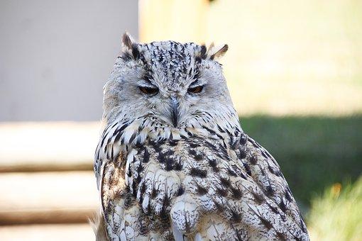 Eurasian Eagle Siberian Owl, Bird, Feather, Raptor