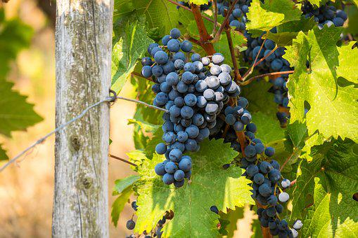 Wine, Vine, Grape, Rebstock, Grapevine, Grapes