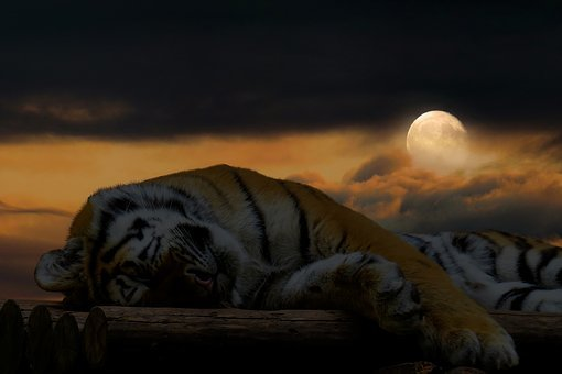 Tiger, Sleep, Rest, Cat, Big Cat, Good Night