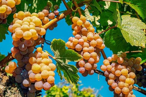 Grapes, Fruit, Ripe, Sweet, Vine, Grapevine, Wine