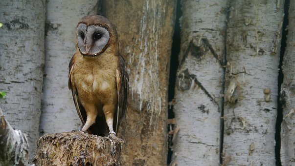 Silver Barn Owl, Bird, Owl, Animal World, Animal