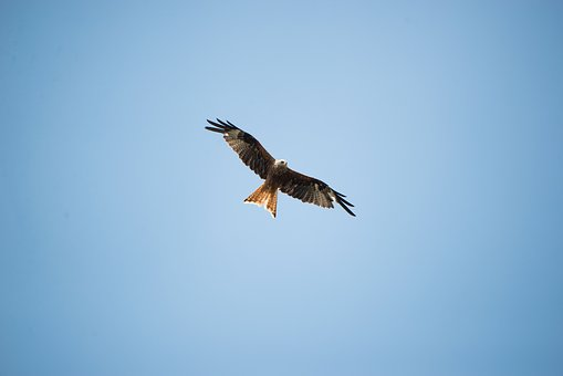 Bird, British, Eagle, Nature, Uk, Sky, Wildlife
