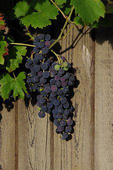 Wine, Nature, Grapes, Vine, Summer, Fruit, Home, Vines