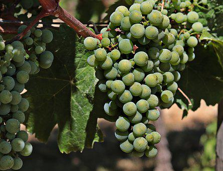 Wine, Grapes, Grapevine, Vine, Fruit, Winegrowing