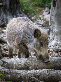 Boar, Pig, Wild, Snout, Foraging, View, Look, Watch