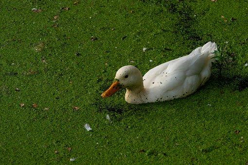 Animal, Bird, Duck, Nature, Landscape, Water Bird, Swim