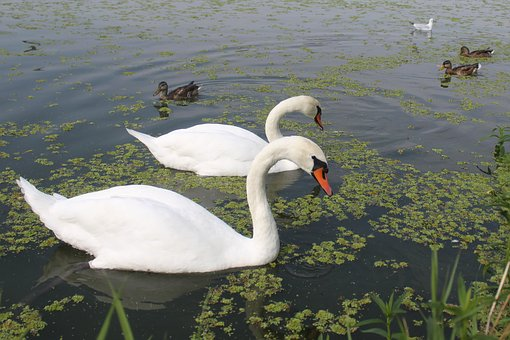 Birds, Amp Shipping, Swan, Duck, Crossword, Water, Swim