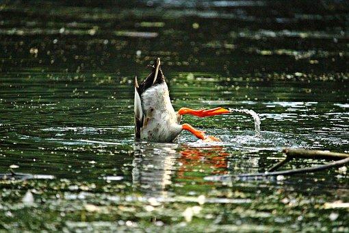 Duck, Bird, Running Duck, Pond, Water, Nature, Animal