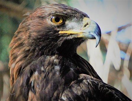 Golden Eagle, Bird, Wi, Adler, Bill, Bird Of Prey