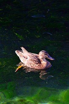 Duck, Wild Ducks, Bird, Water, Nature, Feather