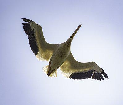 Underside, Bird, Pelican, Flight, Flying, Wildlife