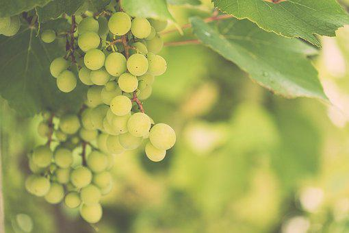 Grapes, Wine, Vine, Fruit, Grapevine, Winegrowing