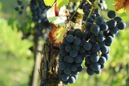 Wine, Grapes, Grape, Grapevine, Vine, Fruit
