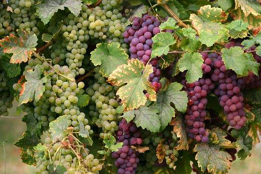Wine, Vines, Grapes, Alsace