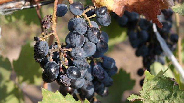 Grapes, Loza, Fruit, Wine, Vineyard, Harvest, Nature