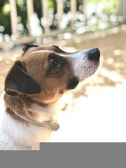 Dog, Jack Russell, Adorable, Puppy, Animal