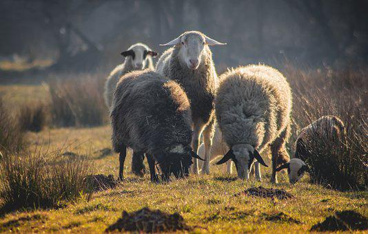 Animal, Sheep, Nature, Livestock, Wool, Mammal, Lamb
