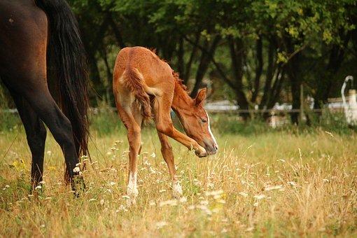 Horse, Fuchs, Suckling, Foal, Animal, Mare, Pasture