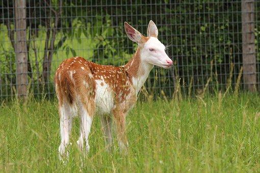 Fawn, Whitetail Deer, Deer, Wildlife, Mammal, Animal