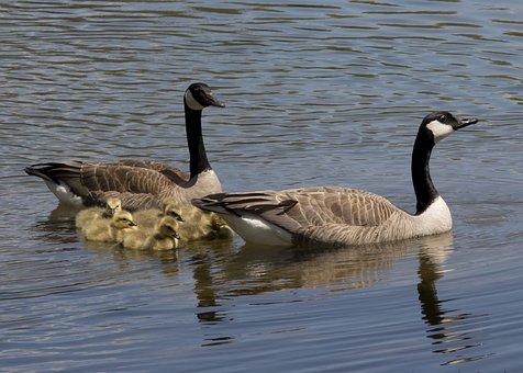 Canadian Geese, Goose, Canadian, Geese, Bird, Babies