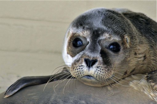 Robbe, Seal, Howler, Close Up, Seal Sanctuary, Baby