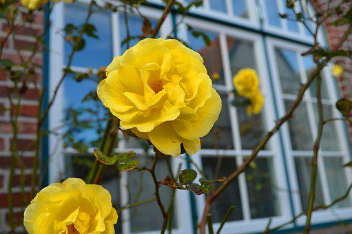 Rose, Yellow, Window, Branches, House, Romantic, Beauty