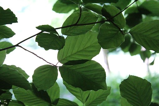 Leaves, Beech, Green, Forest, Natural, Leaf