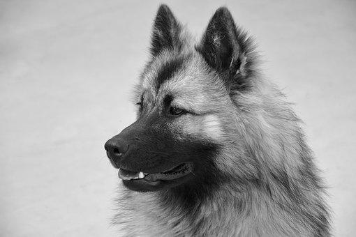 Dog, Dog Eurasier, Bitch Christmas, Photo Black White
