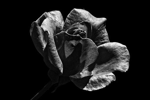 Blossom, Bloom, Rose, Black And White, Flower