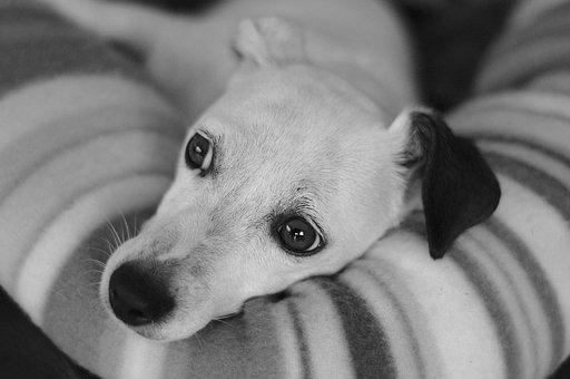 Dog, Portrait, Pet, Black And White