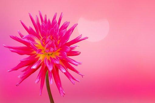 Flower, Blossom, Bloom, Dahlia, Bloom, Petals, Bud