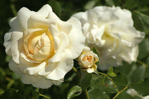 Rose, White Roses, Blossom, Bloom, Romantic, White