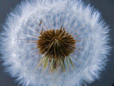 Common, Dandelion, Bloom, Blossom, Nature, Plant