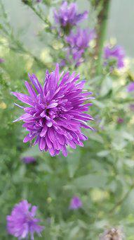 Purple, Bloom, Nature, Plant, Blossom, Garden, Flowers