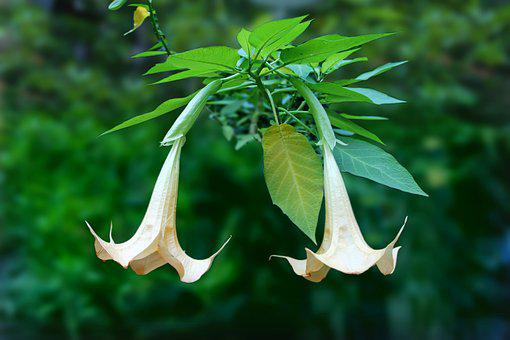 Angel's Trumpet, Brugmansia, Two, Together, Couple